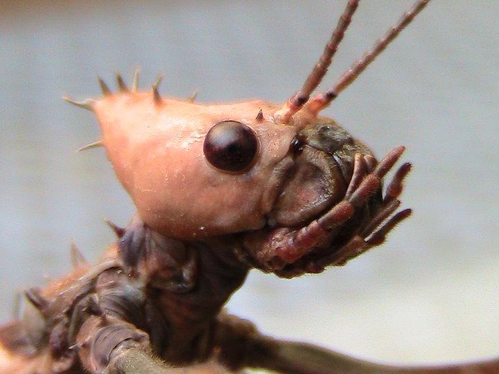Un Insetto per amico: <em>Extatosoma tiaratum</em>
