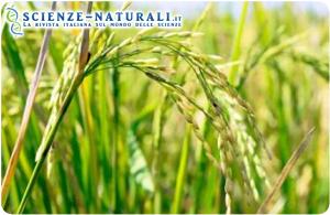PSTOL1, scoperto il gene che aumenta la produttività del riso