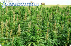 Cannabis: il dibattito prosegue