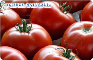 Colesterolo buono da pomodori geneticamente modicati