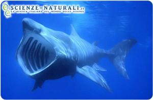 Anche gli squali elefante, dopo le balenottere, minacciati dalla plastica in mare