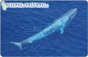 I canti delle balene, una guida migratoria