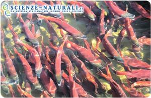 Salmone OGM, preoccupati allevatori e pescatori del salmone atlantico