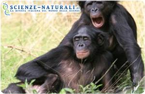 Lo sbadiglio contagioso delle scimmie bonobo