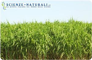 Miscanto: cultura perenne per biocarburanti