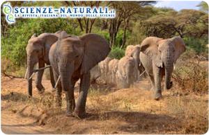 Elefanti della foresta africana a rischio estinzione. Causa, l'avorio