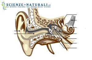 Resti fossili degli orecchi dei primi ominidi ed evoluzione umana