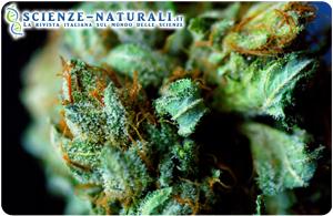 Danni cerebrali: un componente della marijuana può essere la soluzione