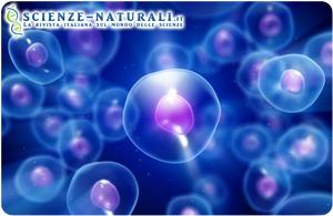 Il tessuto adiposo come fonte di staminali