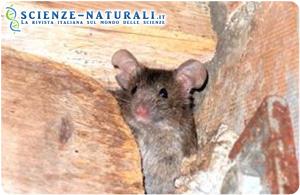 Vivi veloce, muori giovane: i topi longevi sono più pigri