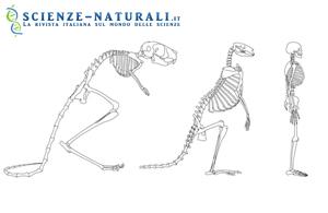 Esiste un collegamento tra la forma del cranio e la posizione bipede