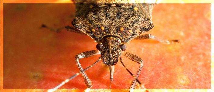 Insetti senza frontiere: la cimice marmorata causa di una nuova emergenza fitosanitaria