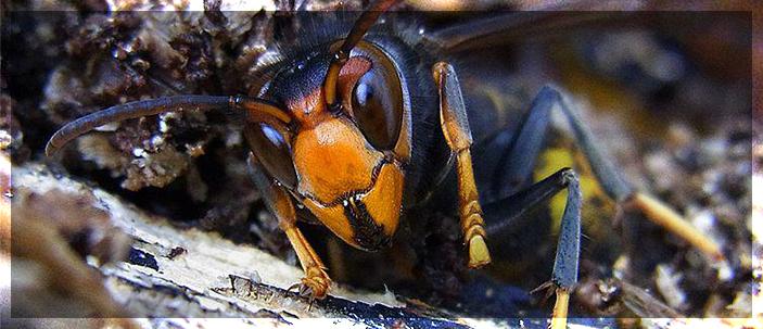 Nuovo pericolo per le api italiane: rintracciati nidi di Vespa velutina