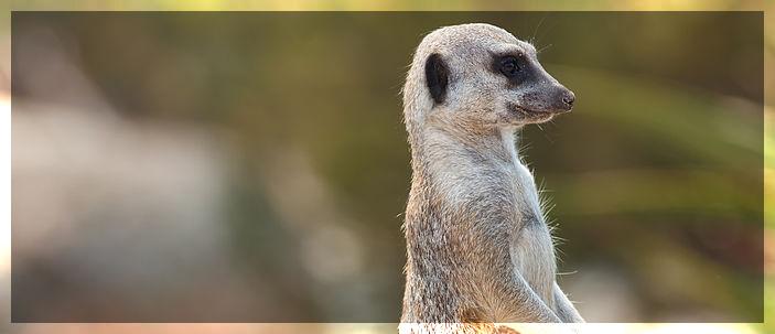 I suricati: una straordinaria forza del gruppo