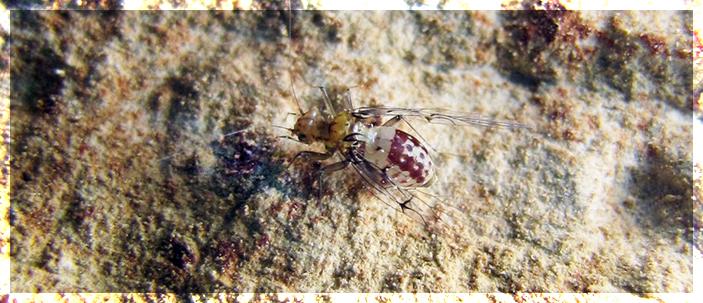 Scoperta una speciale struttura sessuale negli insetti del genere Neotrogla