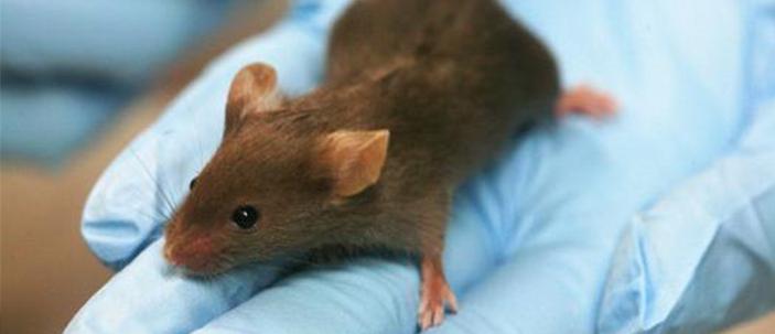 Prima rigenerazione di organo in un mammifero