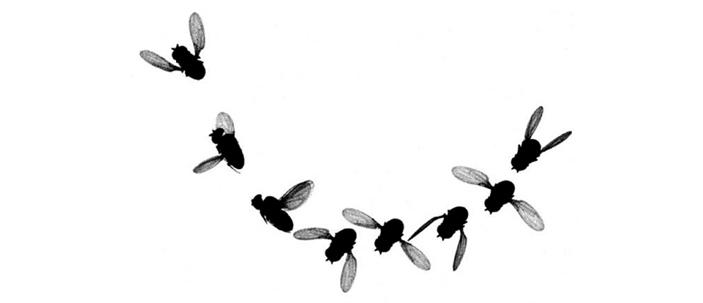 Tattiche di disimpegno dei moscerini della frutta