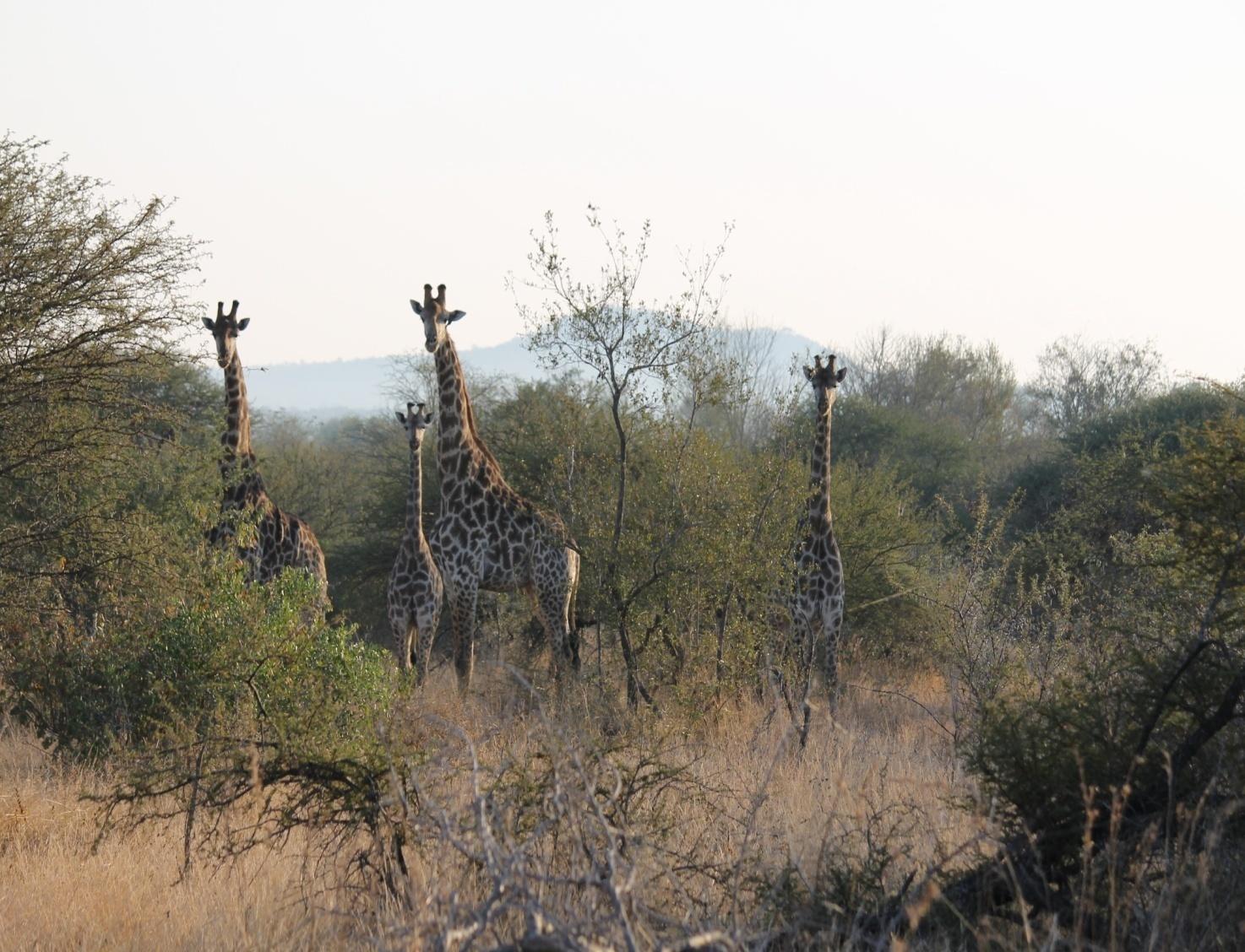 Giraffe: nuove scoperte sulla loro distribuzione