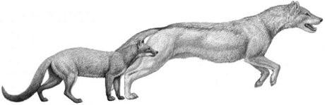 Il clima e i felini decimarono gli antichi cani del Nord America