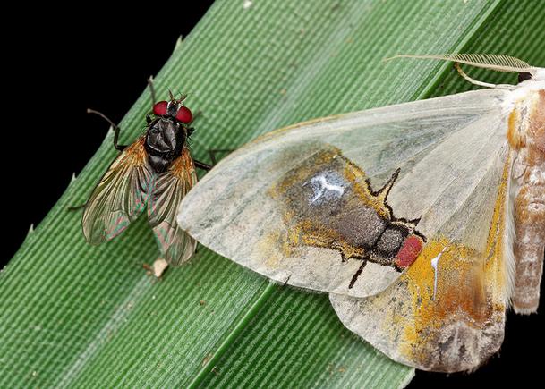 La strana storia di una falena e delle mosche che le salvarono la vita