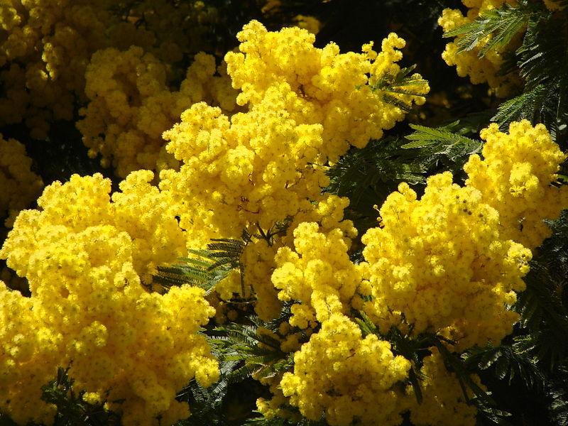 La duplice identità della Mimosa…in realtà cosa regaliamo l'8 Marzo?