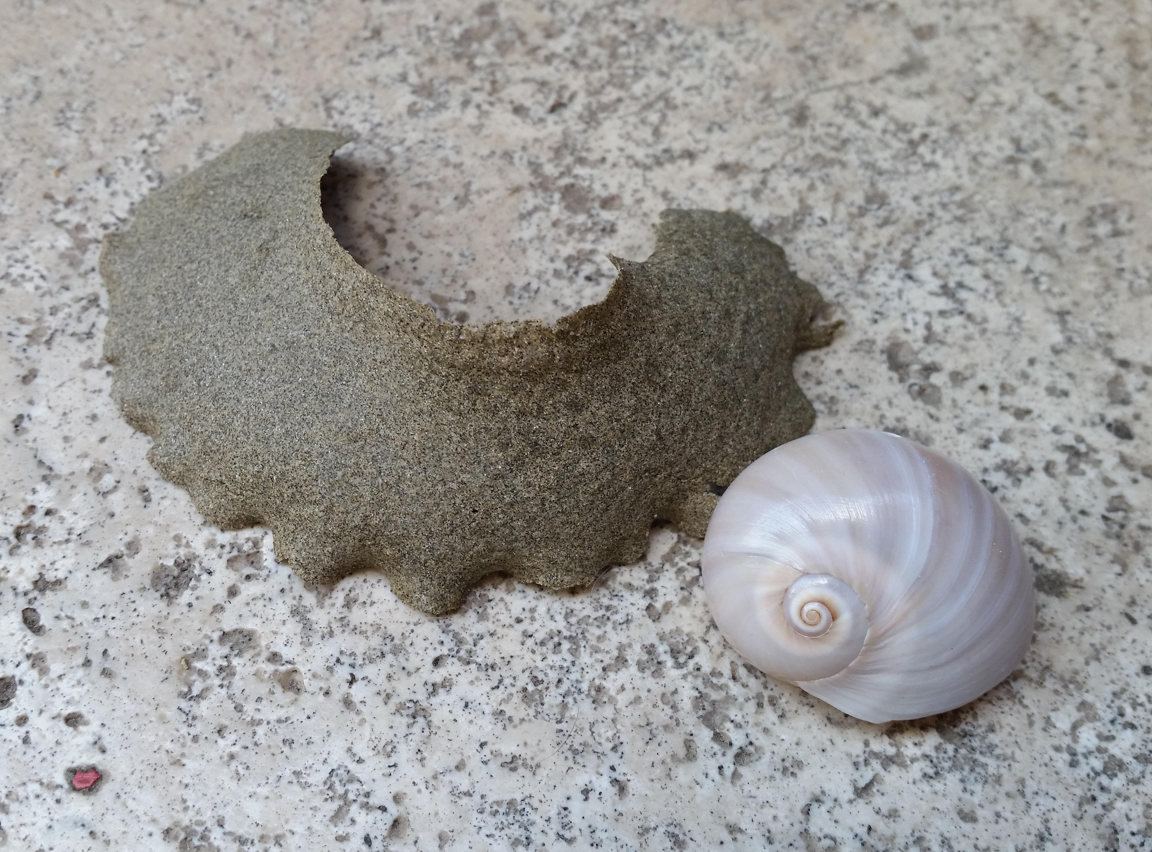 Per ammirare il ricamo della Vita basta una passeggiata in spiaggia: le ovature dei Gasteropodi Naticidi