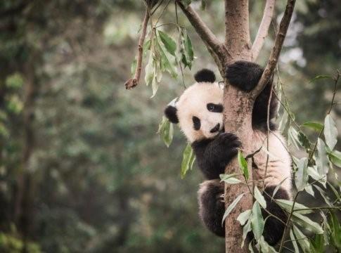 Habitat del Panda sempre più fragile