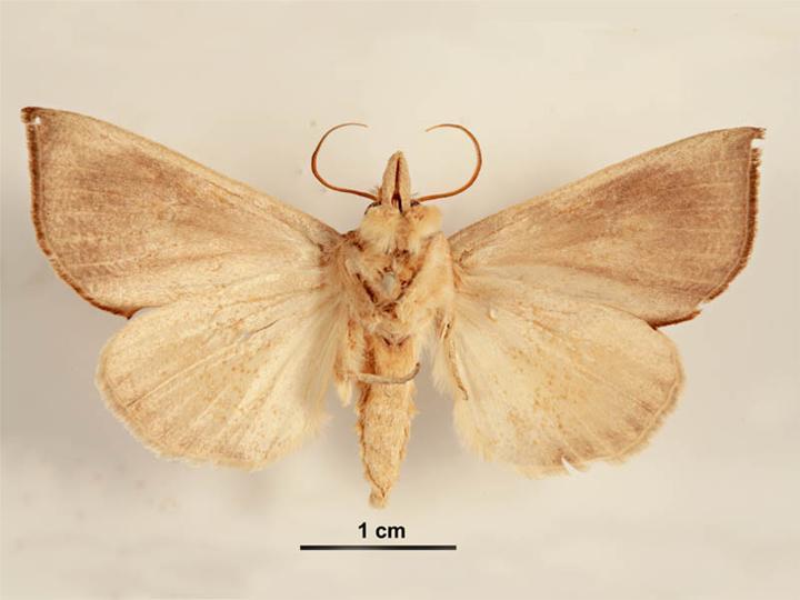 """L'evoluzione del comportamento nelle farfalle: il caso di <em>Calpe eustrigata</em>, la """"Farfalla vampiro"""""""