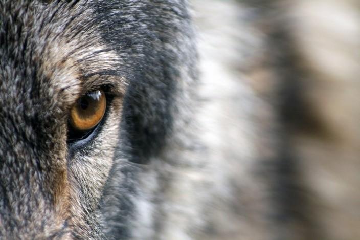 L'importanza della famiglia nei lupi: le bugie sul maschio alpha